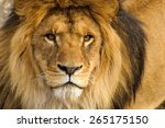 Stock photo beautiful mighty lion 265175150
