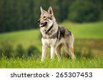 Wolfdog In The Meadow