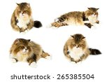Persian Cat  7 Years Old  In...
