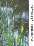 Small photo of European water plantain, Alisma plantago-aquatica