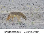 A Lone Coyote  Canis Latrans ...