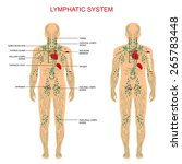 Постер, плакат: Human anatomy lymphatic system