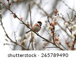 Small photo of Black-throated bushtit, The black-throated bushtit (Aegithalos concinnus), also known as the black-throated tit, is a very small passerine bird in the family Aegithalidae.