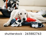 dog is missing his owner golfer ... | Shutterstock . vector #265882763