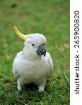 White Sulphur Crested Cockatoo...