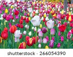 colorful tulips  tulips in... | Shutterstock . vector #266054390