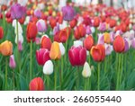 colorful tulips  tulips in... | Shutterstock . vector #266055440