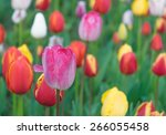 colorful tulips  tulips in... | Shutterstock . vector #266055458
