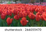 colorful tulips  tulips in... | Shutterstock . vector #266055470