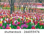 colorful tulips  tulips in...   Shutterstock . vector #266055476