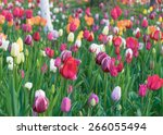 colorful tulips  tulips in... | Shutterstock . vector #266055494