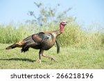 female turkey walking through a ... | Shutterstock . vector #266218196