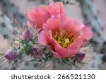 Prickly Pear Cactus With Pink...