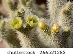 Teddy Bear Cactus With Yellow...