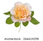 Yellow Rose Closeup Isolated O...