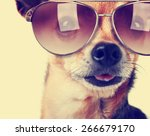 Stock photo a cute senior chihuahua with his tongue hanging and sunglasses on out toned with a retro vintage 266679170