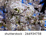 cherry blossoms at the... | Shutterstock . vector #266934758
