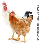 hen and rooster isolated on... | Shutterstock . vector #267031988