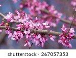 Pink Flowers On Eastern Redbud...