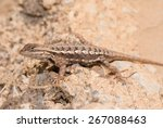 Male Eastern fence Lizard enjoying sunshine in early spring