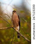 Cooper's Hawk Male. Perched In...