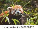 liitle small cute red panda... | Shutterstock . vector #267200198