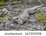 Mexican Iguana Lying On The...