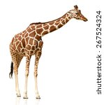 giraffe isolated on white | Shutterstock . vector #267524324