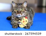 Stock photo house cat with a crochet toy 267594539