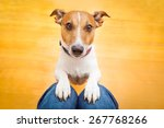 Stock photo jack russell dog ready for a walk with owner or hungry begging on lap inside their home 267768266