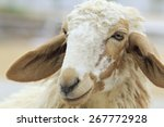 Close Up Sheep Face