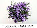 Beautiful Vivid Purple Spring...