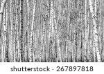 Birch  Black And White Photo