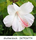 White Hibiscus Flower With Lon...
