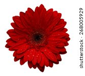 Red Gerbera With Water Drops...