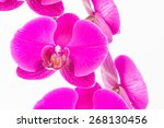 purple moth orchids close up... | Shutterstock . vector #268130456