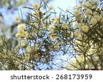 Wattle Overflowing With Spring...
