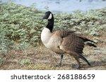 Canada Goose  Scientific Name...