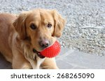 Stock photo dog biting a red ball and looking at the camera 268265090