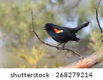 Small photo of Male Red-winged Blackbird (Agelaius phoenicius) calling from a perch - Grand Bend, Ontario