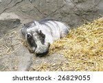 warthog - stock photo