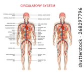 heart anatomy  circulatory... | Shutterstock .eps vector #268297796