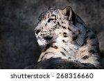 Profile Portrait Of Snow Leopard