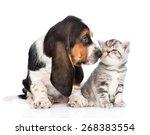 Stock photo basset hound puppy sniffs tabby kitten isolated on white background 268383554