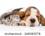 Stock photo kitten sleeping under the ear basset hound puppy isolated on white background 268383578