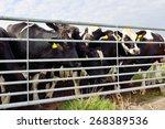 Cattle Of Cows In Field