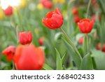 tulips flower beautiful in... | Shutterstock . vector #268402433