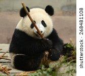 Cub Of Giant Panda Bear Eating...