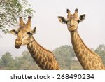 giraffe is waiting for food at...   Shutterstock . vector #268490234