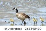 Female Canada Goose  Scientific ...
